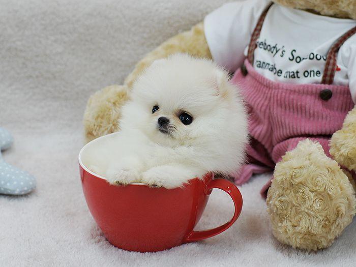 Panda Teacup Pomeranian Puppies Teacup Dog Breeds Cute Dog