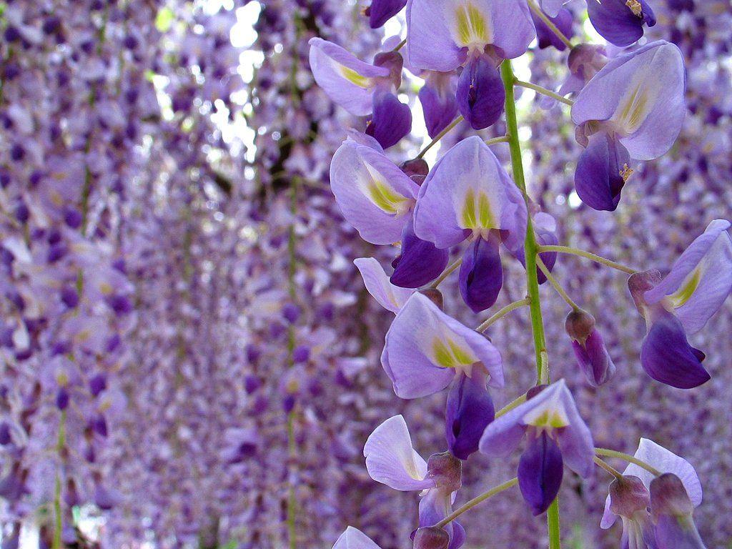 藤 ふじ の花と藤棚の壁紙写真 春の花風景写真無料写真素材 ふじの