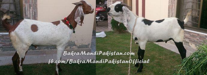 Humaray Page k Bohat Achay Member or Admin Khurram Rafiq sahab k Bakray :P :D ! Allah pak Qurbani Qubool Fermain Ameen ! Join us on www.fb.com/Startfun Visit us www.BakraMandiPakistan.com
