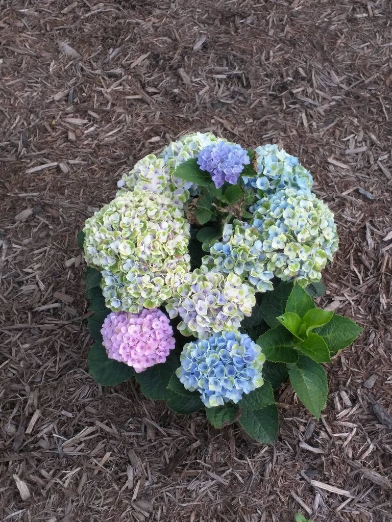 Since we are showing off our multicolored hydrangeas I had to show off one of my beauties!