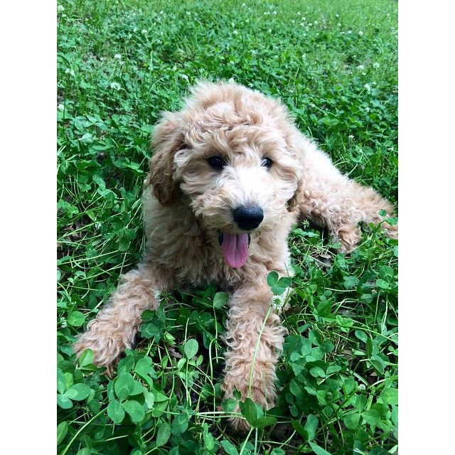 Sweet Girl Playing In The Clovers Goldendoodle Puppy Golden