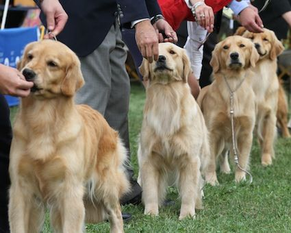 How To Find A Quality Golden Retriever Puppy American Kennel
