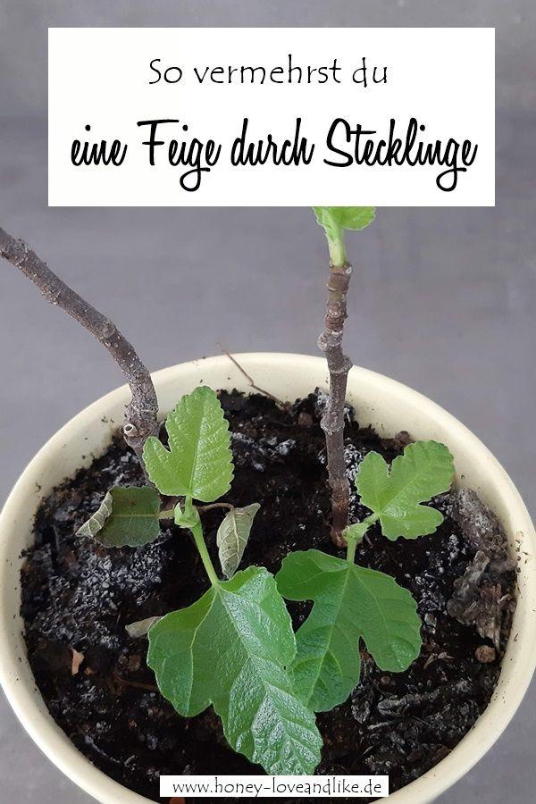feige durch stecklinge vermehren und die feige als k belpflanze halten stecklinge