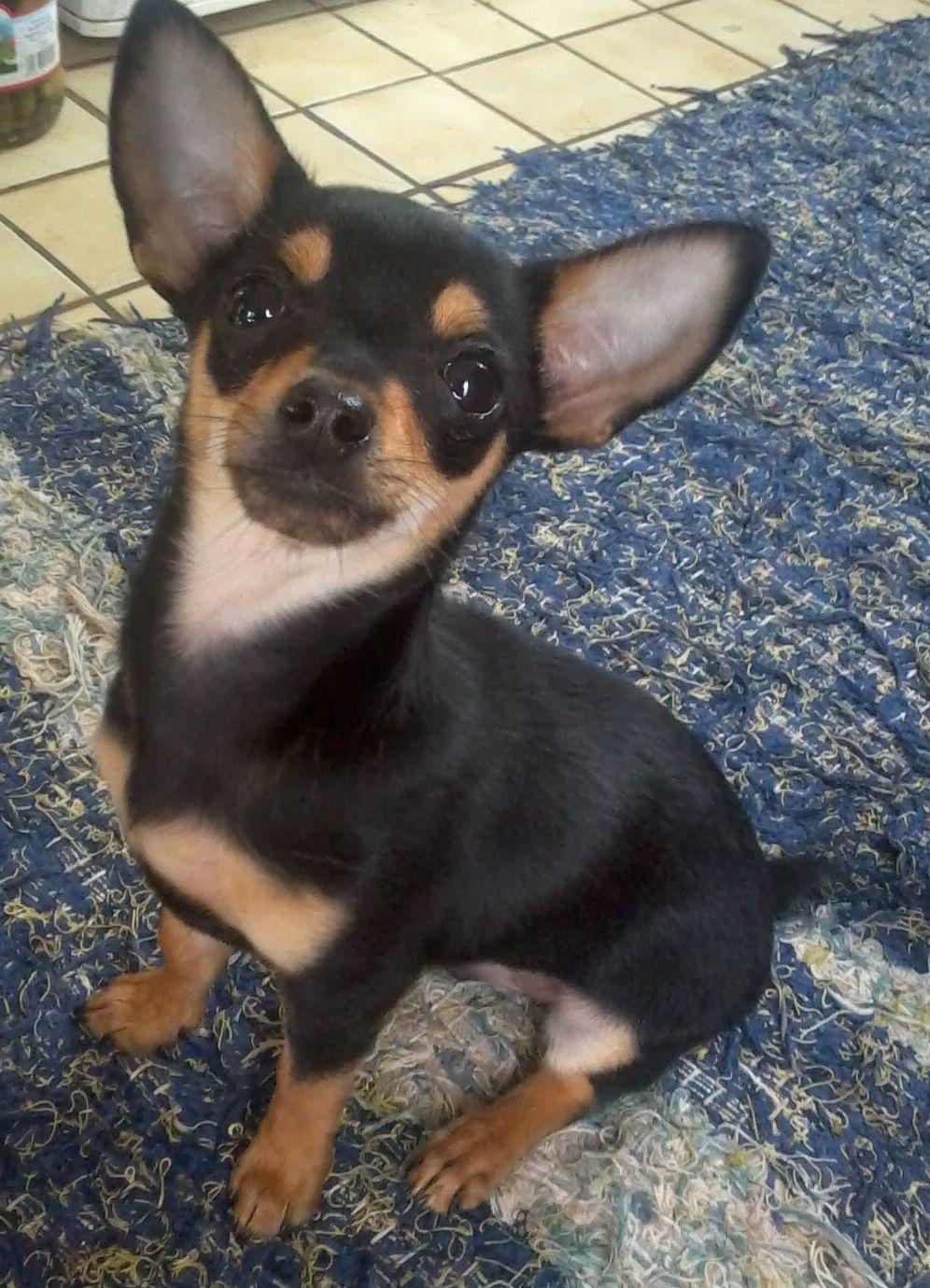 My Dog Emmett Chihuahuas Photo Cute Chihuahua Cute Small