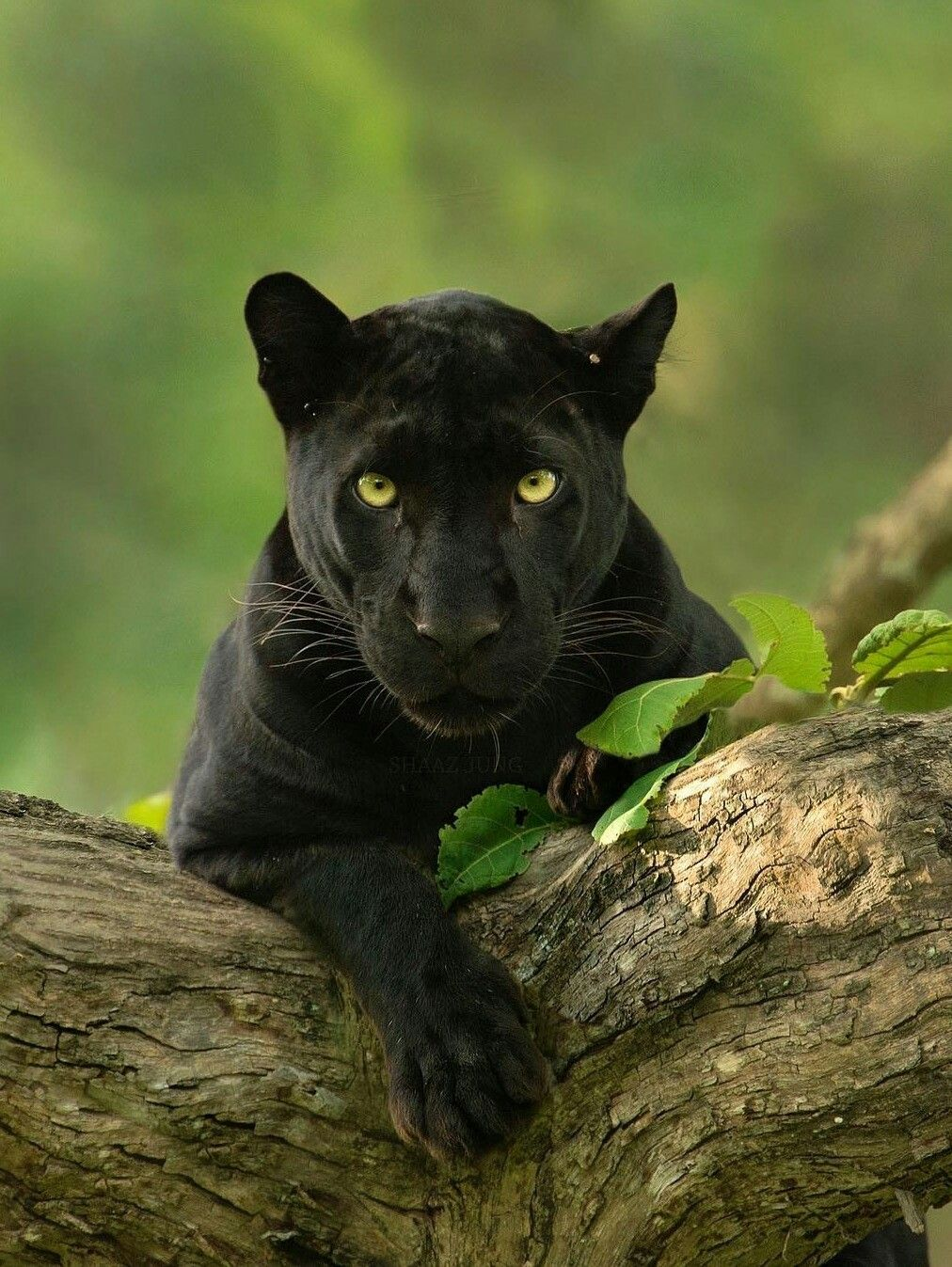 Black Panther, by shaazjungphotography From laulna.tumblr