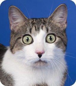Chicago, IL Domestic Shorthair. Meet Fallon, a cat for