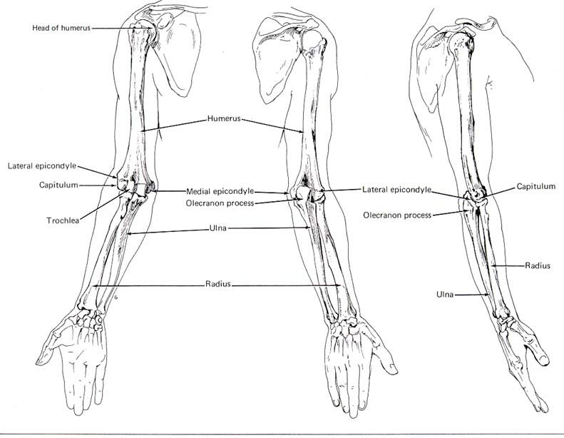 Human Anatomy Arm Bones Courses Image Gallery Website With Human