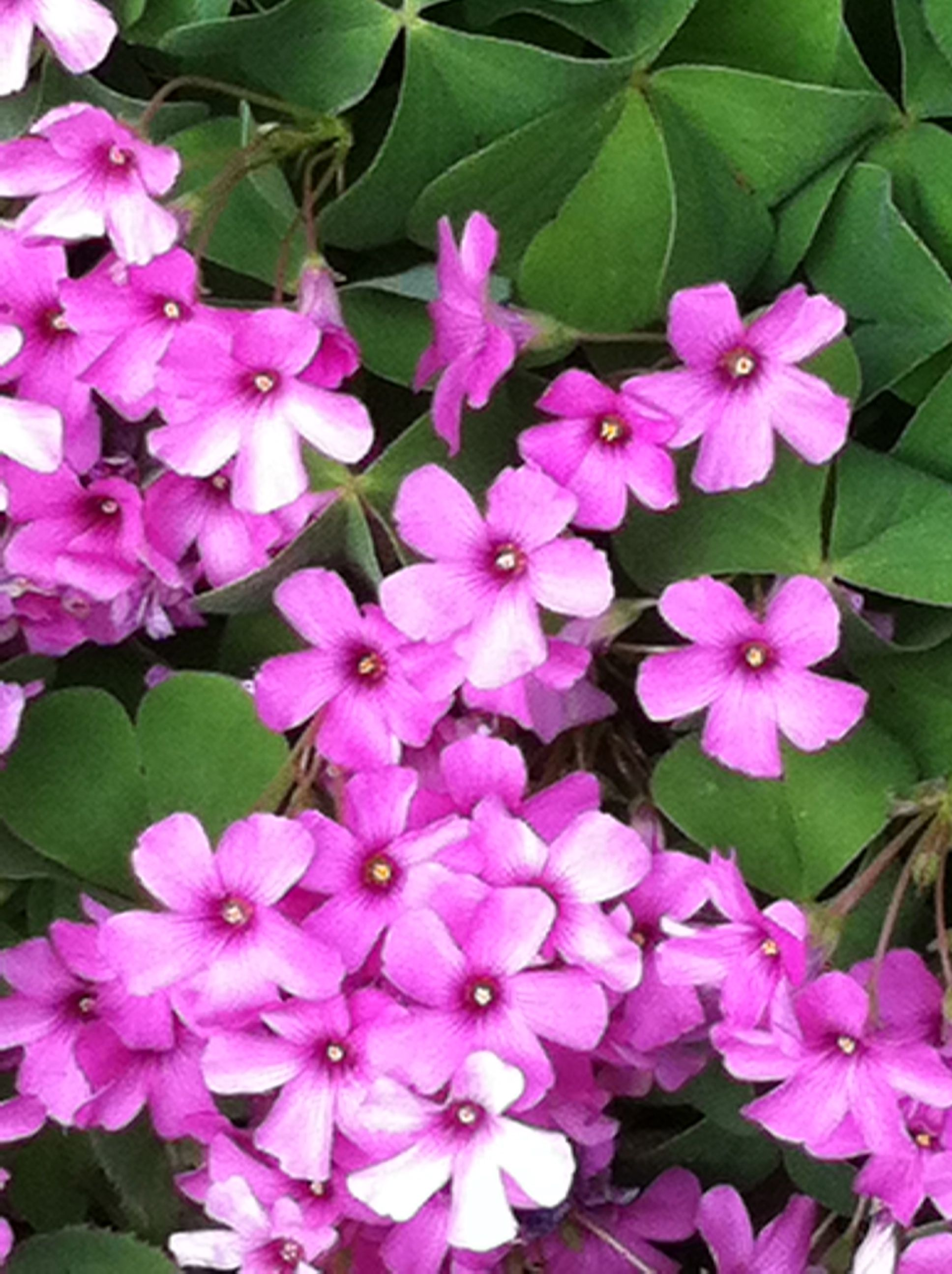 Fiori Quadrifoglio.Quadrifoglio Fiori Plants Garden