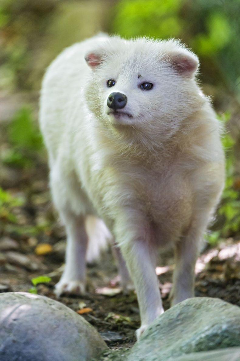 raccoon dog asiatic raccoon fur industry fur trade