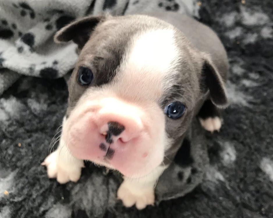#BostonTerrier puppy