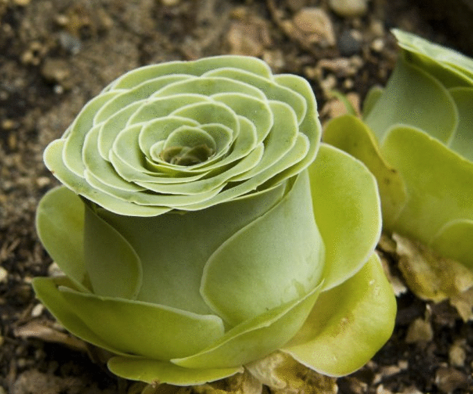 Every Secret Garden Needs These Rose Succulents is part of Secret garden Rose - Rose Succulents are awesome anywhere