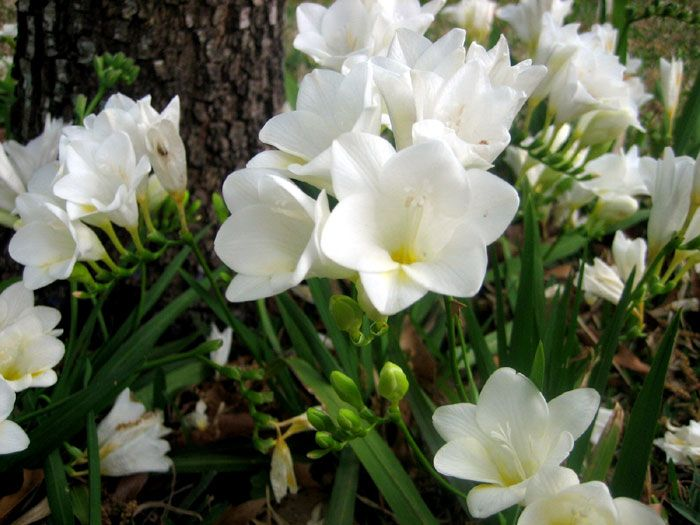 Growing And Planting Freesia Flower How To Grow Freesias In A Pot Freesia Flowers Flower Pots Gum Paste Flowers