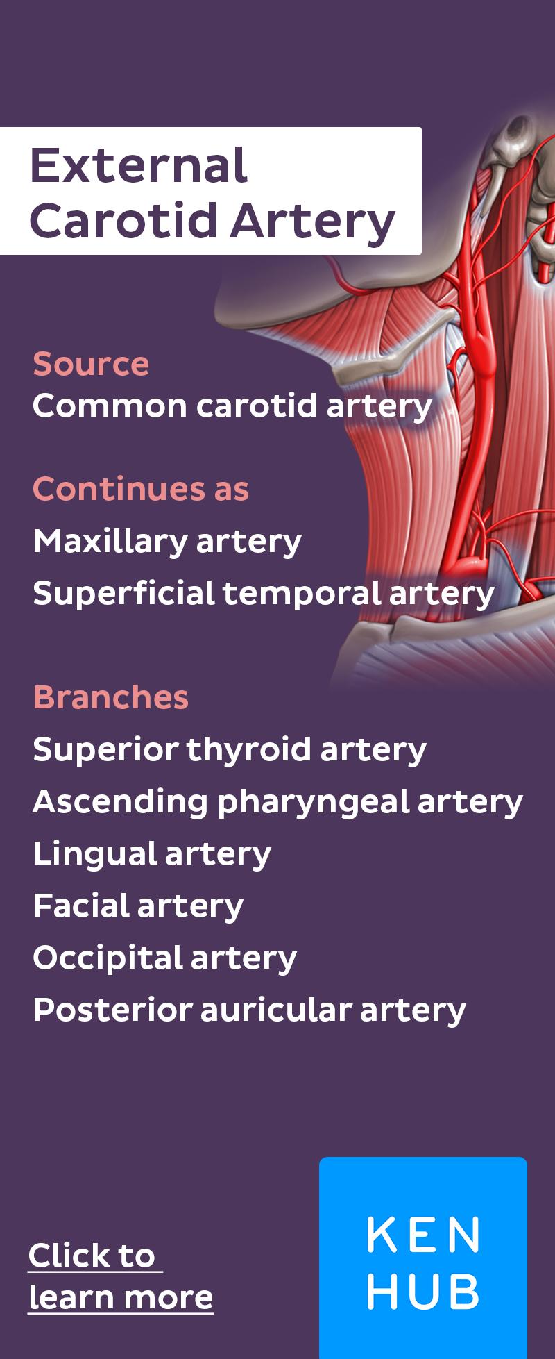 External Carotid Artery and its Branches | Pinterest | Arterien