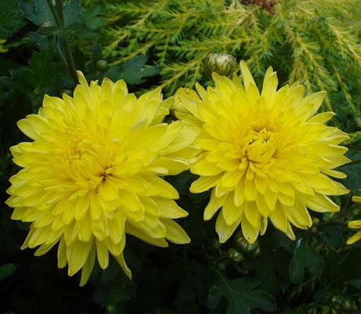 Chryzantema Ogrodowa Zimujaca Solar Chryzantemy Zimujace Plants Solar