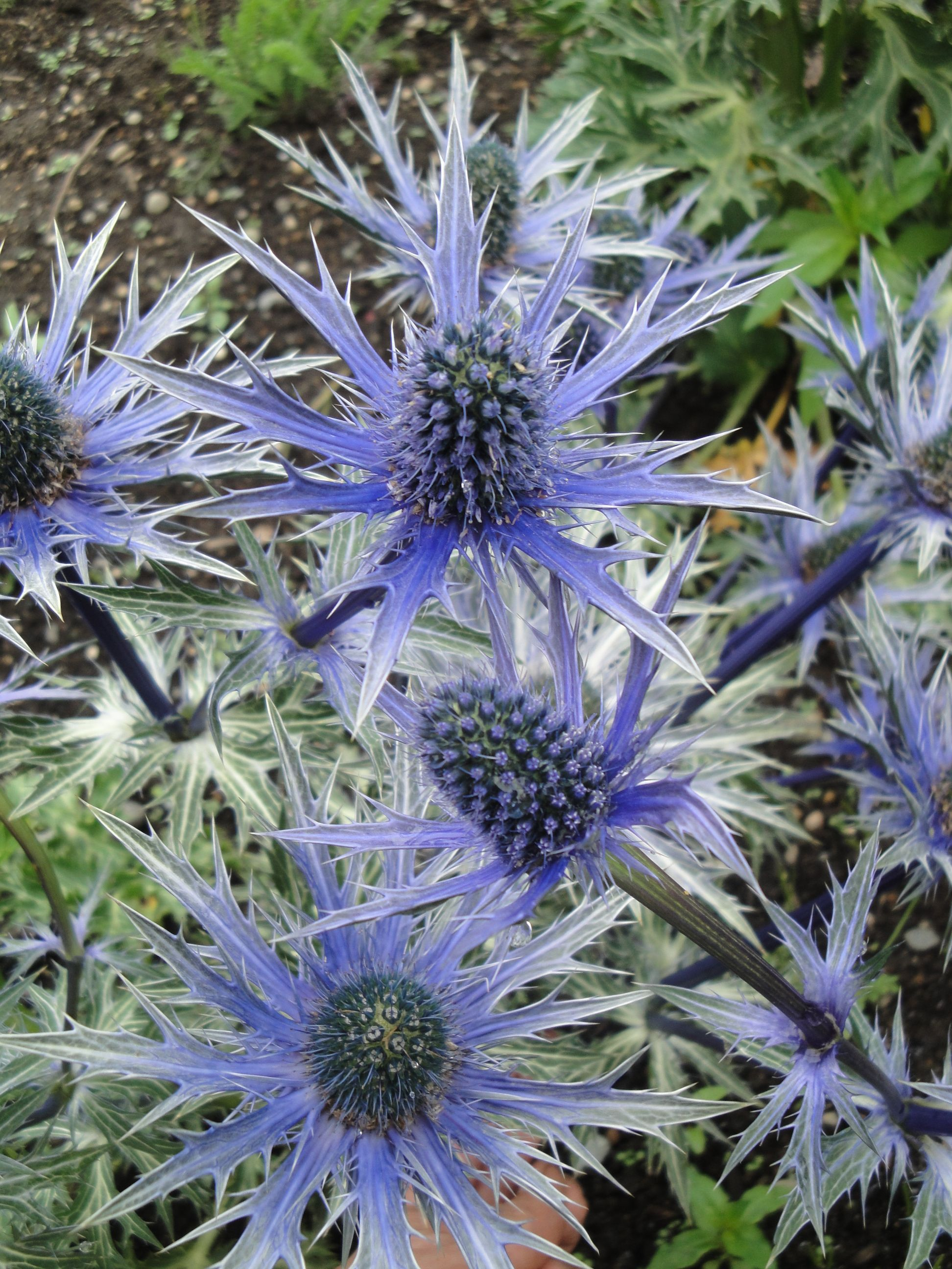 Thistle Perfect Plants Flowers Sea Holly