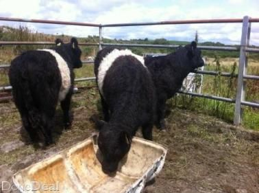4 Belted Galloway Yearling Bulls Cattle For Sale Yearling Cattle