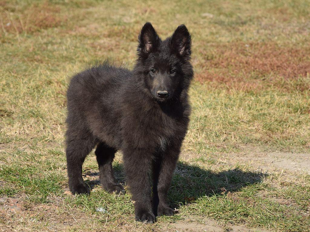 Mesa Az Belgian Malinois Labrador Retriever Mix Meet Gunner A Puppy For Adoption Belgian Malinois Puppy Adoption Malinois