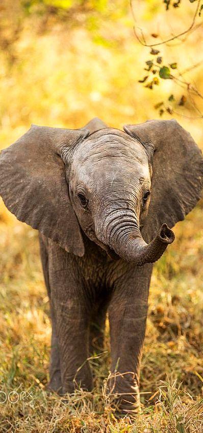 cute baby elephant mashatu botswana photo byjaco marx nature