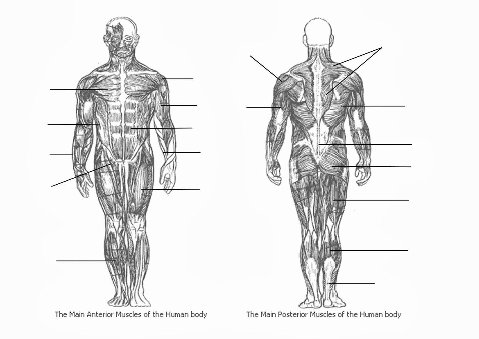 Blank Muscle Diagram To Label Elegant Muscle Diagram Blank