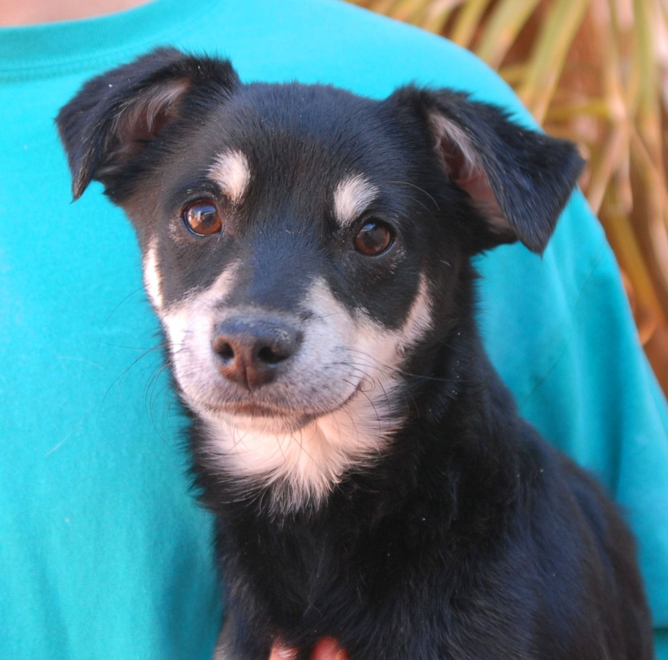 Prince is a baby boy, a junior puppy of 9 months, debuting for adoption this afternoon at Nevada SPCA (www.nevadaspca.org).  He is eager to learn about people and wants your guidance to understand this crazy world.  Prince loves other playful dogs and likes to act silly.  He is a Chihuahua & Toy mix, now neutered.  Prince was found abandoned at a gas station near a dangerous Vegas intersection and he had no sign of responsible ownership.