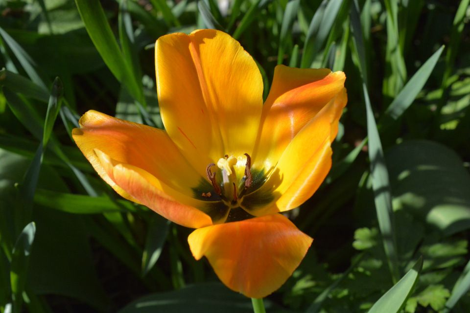 Tulppaani apposen auki | Vesan viherpiperryskuvat – puutarha kukkii