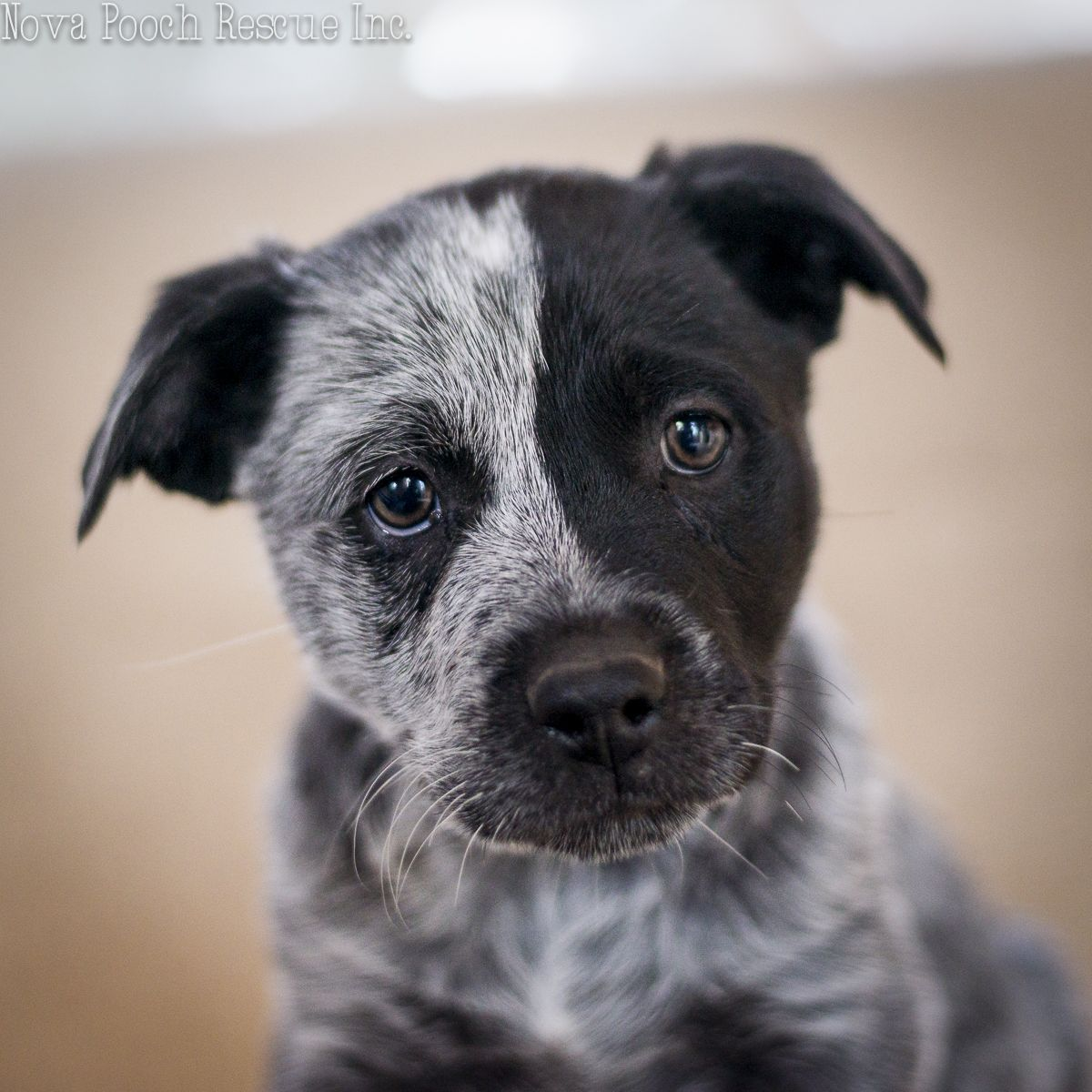 Australian stubby tail cattle dog pup. Dogs, Cattle dog