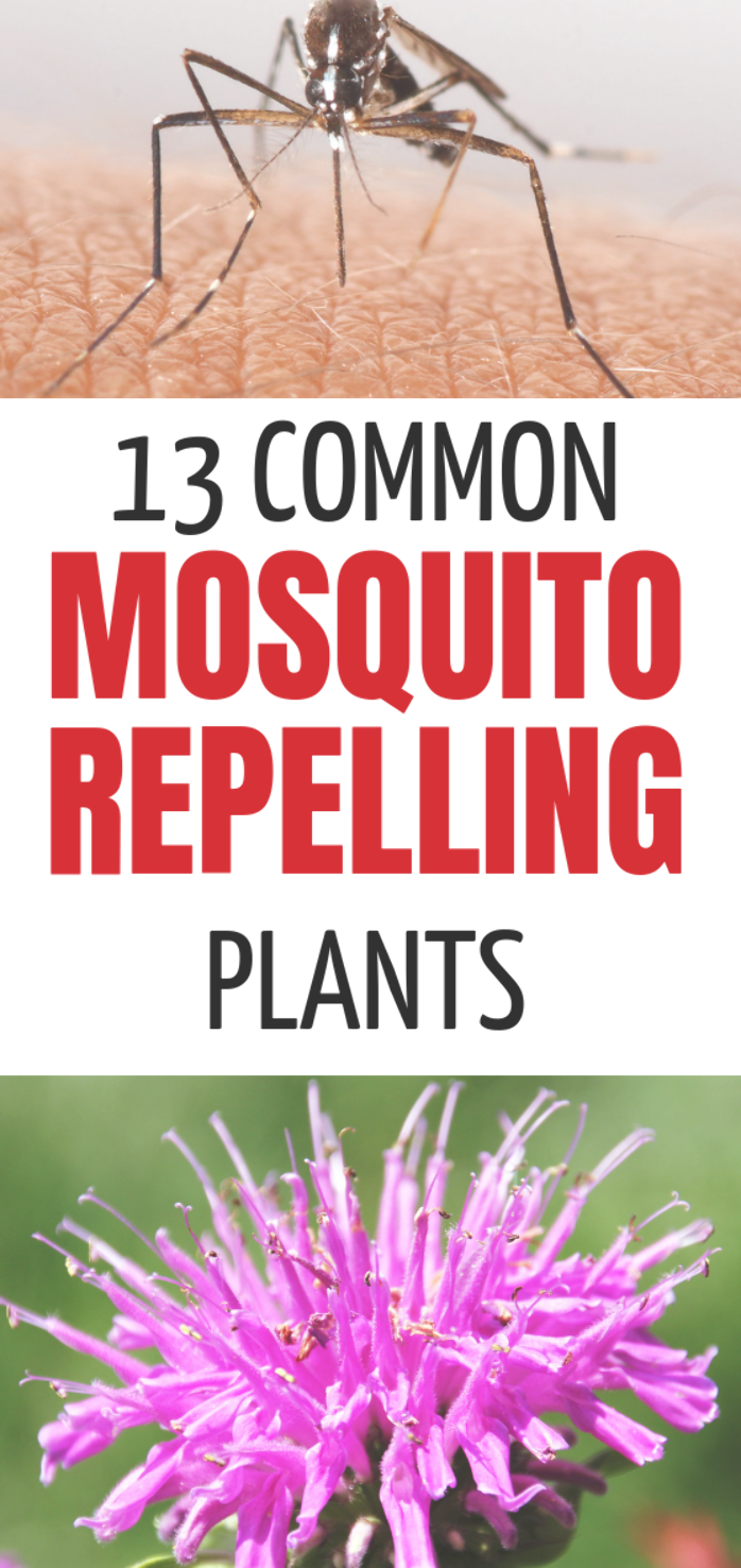 mosquito repelling plants are perfect for planting in your front yard, side or backyard.  Some of these are perfect for adding to your landscape and are a great natural mosquito repellant.  If you are already planting a garden, add some of these plants, flowers and herbs today! These mosquito repelling plants are perfect for planting...