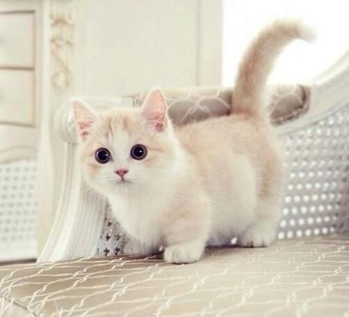 Incredibly Adorable Munchkin Kitten Cute Animals Kittens Cutest