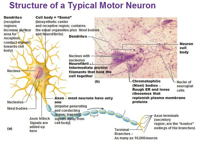 Structure Of A Typical Motor Neuron Dendrites Neurofibril