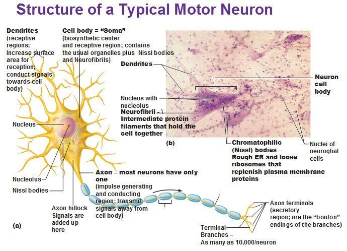 structure of a typical motor neuron dendrites neurofibril axon nissl ...