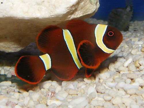 Gold Stripe Maroon Clownfish Clown Fish Fish Coral Reef Aquarium