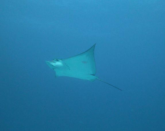 e472fd2ad54db Maravilhosa arraia-chita nada próxima de nós durante mergulho em Isla  Mujeres