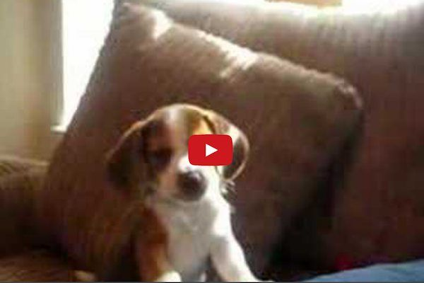 I Can T Stop Watching This Beagle Puppy Practicing His Mighty Howl
