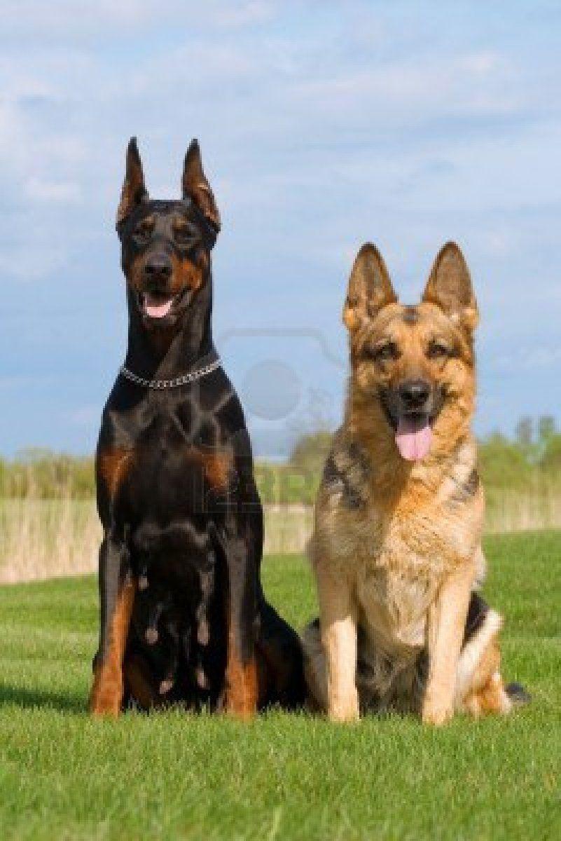 Doberman And German Shepherd Hope Youre Doing Wellfrom -6515