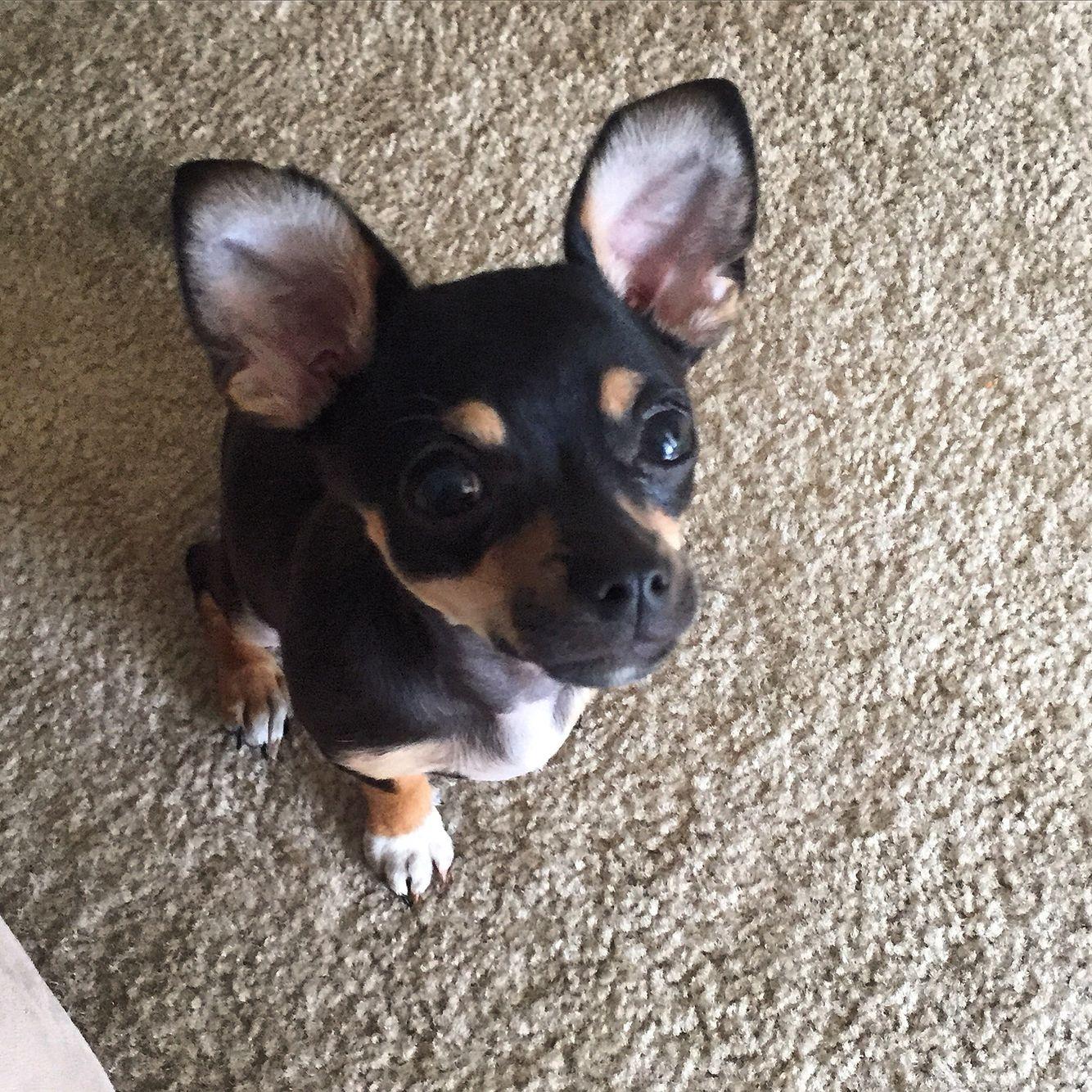 All ears french bulldog animals