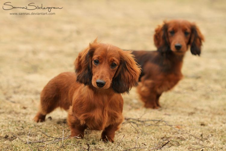 Curious Hotdogs A La Fluff By Sannas On Deviantart Dachshund