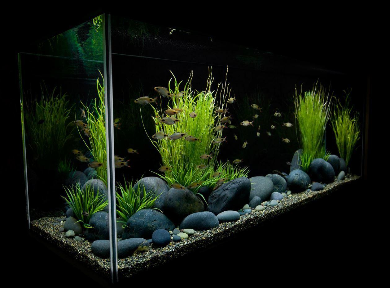 Fish for aquarium in bangalore - Fresh Water Tank
