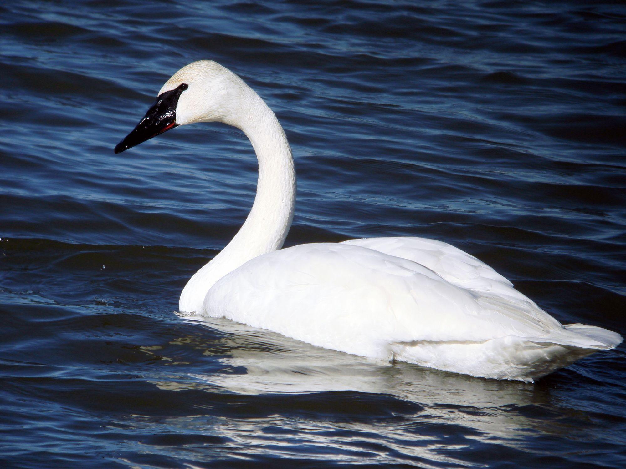 swan Laura's Birding Blog Swan wallpaper Swan