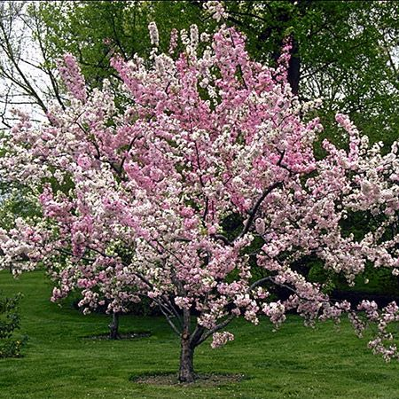 Prunus 039 Pink Perfection 039 Japanese Flowering Cherry Tree In A 12l Container