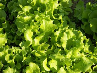 Every spring we anxiously await that first wilted lettuce salad with the Black Seeded Simpson Lettuce. A great early spring crop for us and eagerly awaited. Nothing like fresh salad greens, green onions,fresh peas and sliced eggs for a salad.