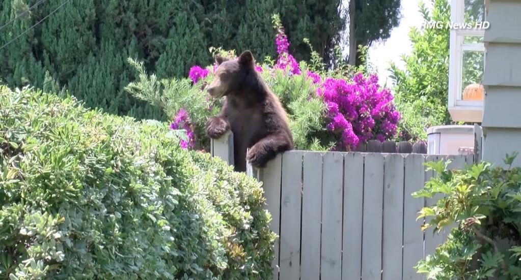 RMG News on   Wildlife, Black bear, Backyard