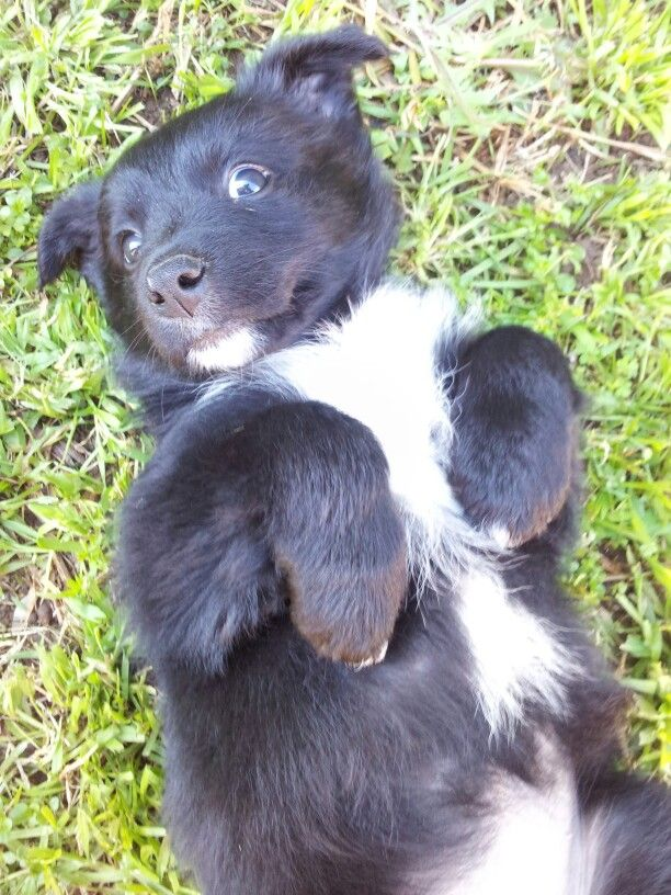 Australian Kelpie X Border Collie This Is The Breed That My Puppy