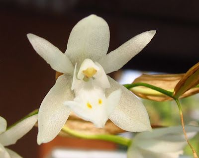 Sahyadris Coelogyne Breviscapa Beautiful Orchids Pretty Flowers Orchid Flower