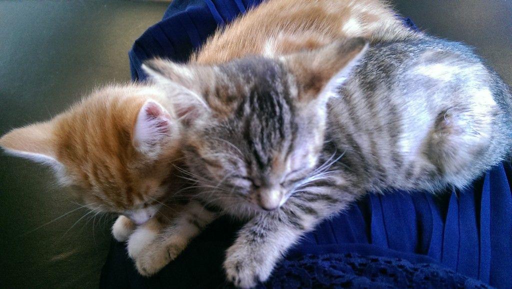 Sibling Kittens Ginger & Silver tabbies Kittens, Pets