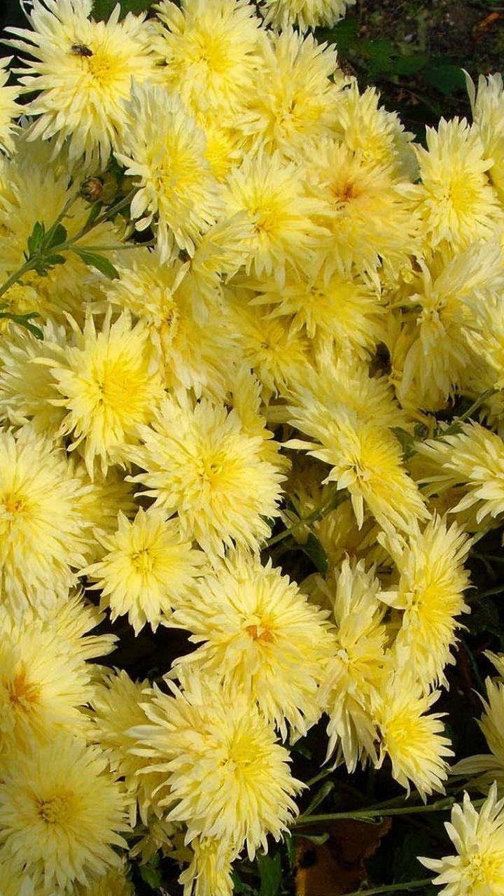 Download Wallpaper 720x1280 Chrysanthemums Flowers Yellow Garden