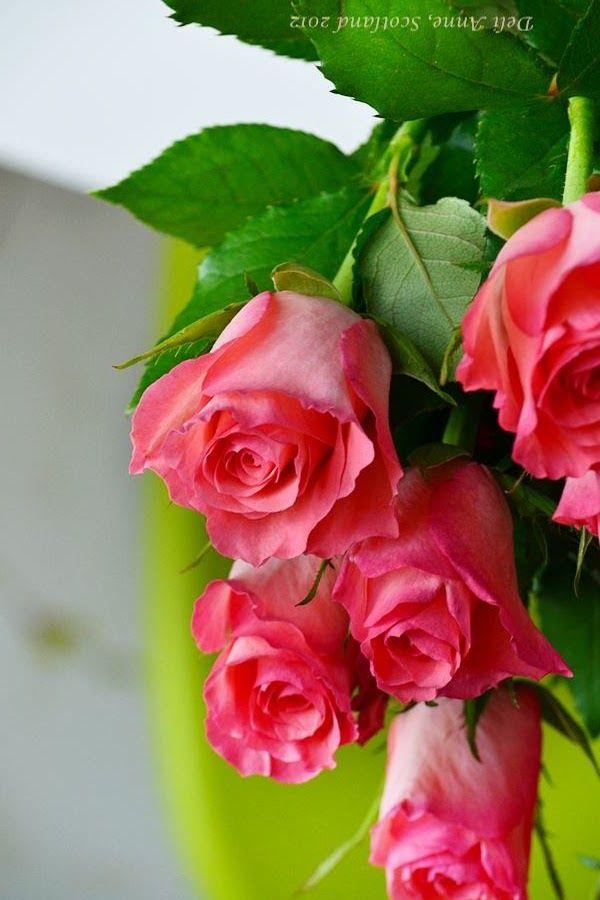 Pin De Syreeta Clark Matthews Em Natural Beauty Rosas Lindas Rosas Roseiras