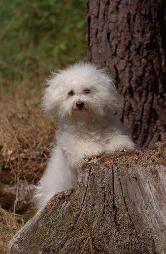 Bolognese Pictures White Dog Breeds Bolognese Dog Dog Breeds