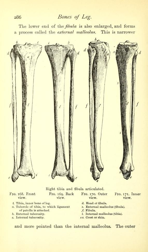 Right Tibia And Fibula Articulated From A Handbook Of Anatomy For