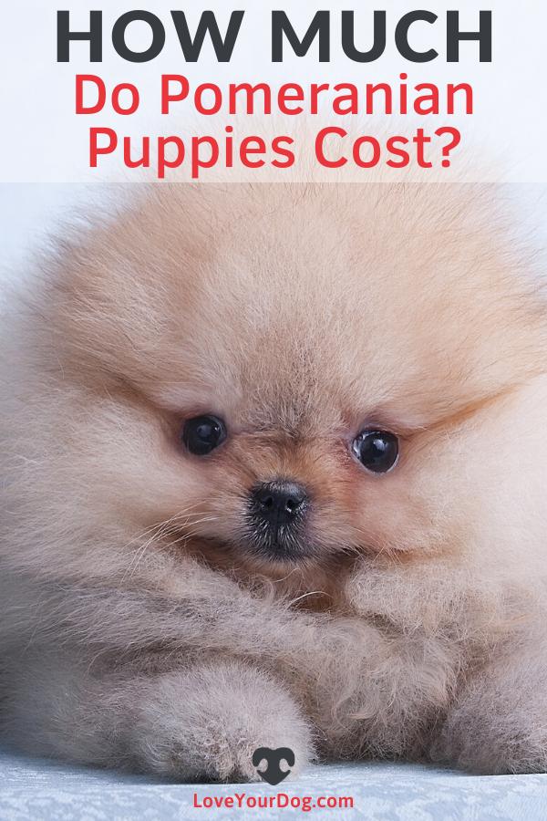 Pomeranian Prices How Much Do Pomeranian Puppies Cost In 2020 Pomeranian Puppy Puppies Pomeranian