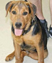 Tank Is A 5 Month Old Male Shepherd Mix Puppy Looking For His